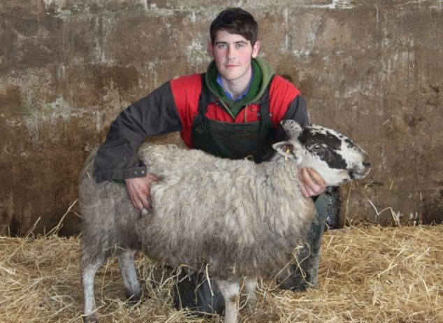sheep1593276796